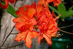 Orange azalea (John H Bowman) Tags: flowers home virginia azaleas april 2007 april2007 chesterfieldcounty surreywood