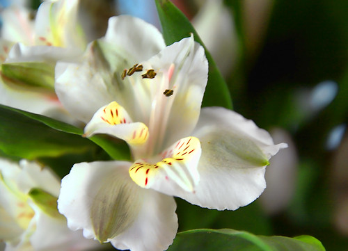 When Freesia Blossoms
