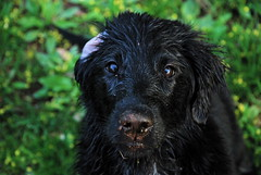 Pools are fun (Lilyfield FCRs) Tags: puppy flatcoat jette 4mos