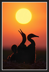 Cormorant Dawn (Ian Plant Nature Photography) Tags: naturepeople