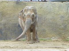 Dickerson Park Zoo - Springfield, Missouri (Adventurer Dustin Holmes) Tags: elephant animal animals elephants asianelephant elephasmaximus asiaticelephant dickersonparkzoo elephas asianelephants asiaticelephants