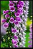 Longwood garden (XJPHOTO) Tags: wood flowers macro garden long pentax xj 美国 longwoodgarden 费城 k10d pentaxk10d 宾州 xjphoto 潜伏期话痨