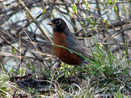 Canadian-American Robin
