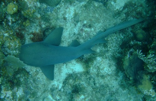 Nurse Shark Sighting