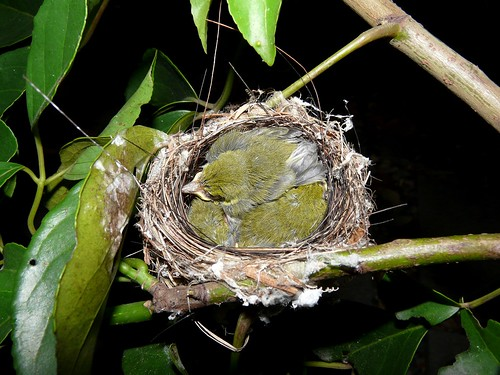 Japanese White-eye Fledglings (Zosterops japonicus) - 綠繡眼雛鳥