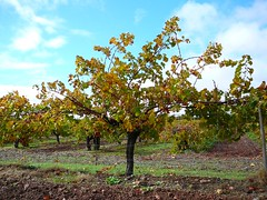 Vines In Sun