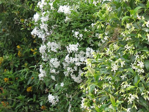 star jasmine vine