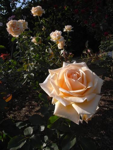 霊山寺「バラ庭園」@奈良市-11