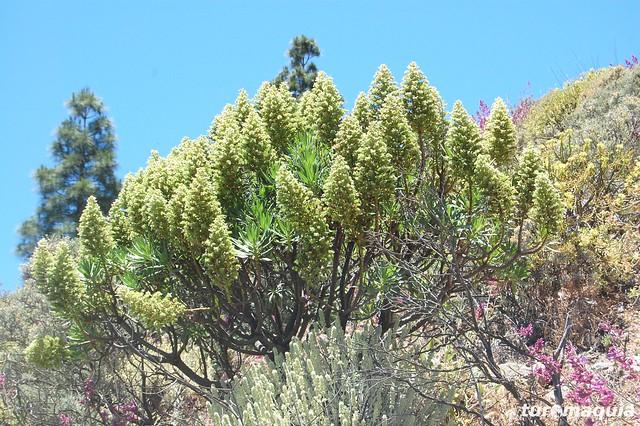 Flora Caminata Roque Nublo