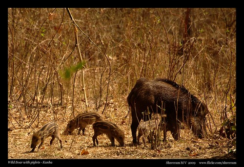 Wild Boar with Kids