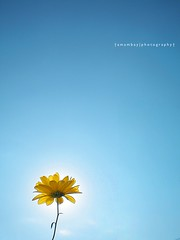 walking on sunshine (~Amambay*) Tags: blue sky flower sunshine yellow azul flor yellowflower explore amarillo cielo paraguay minimalism minimalismo floramarilla amambay winnerbc