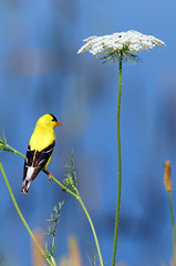 Goldfinch (GrimPapa) Tags: flower nature nikon wildlife goldfinch bombay hook refuge