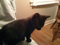 Percy (JRRollins) Tags: cat kitten percy