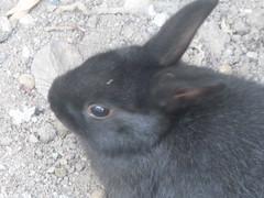 conejo 22 (Gioser_Chivas) Tags: bunny animal conejo negro mascota mamifero gioser