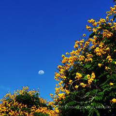 A tribute to Ex-President Corazon Aquino 1933-2009 (Kuya D) Tags: blue sky moon yellow philippines explore frontpage corazon aquino poinciana nikon18200mm copperpod 224views 54faves pinoykodakero nikond300 78comments 1note