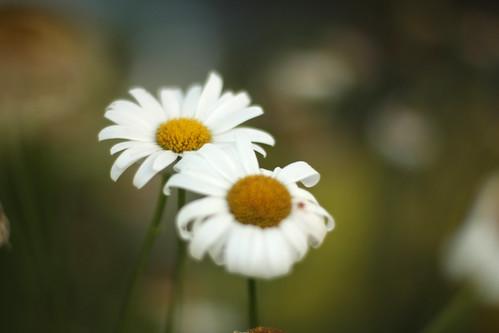 daisy 003-1