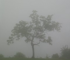 in the fog (At Home on the Bay/Lucky Knitter) Tags: 365 ilovethistree bluehillmaine itremindsmeofbonsai