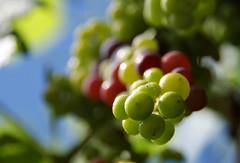 Grapes (Kelly.Hunter.) Tags: summer green sony grapes