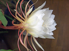 月下美人 Epiphyllum oxpetalum