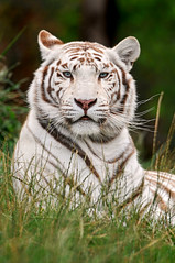 Posing white tiger (Tambako the Jaguar) Tags: wild white france grass cat zoo big nikon feline sitting stripes tiger kitty tigre striped felid d300 pantheratigris amnville flickrbigcats mignificent