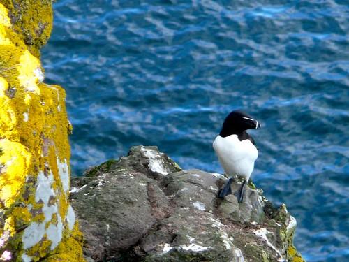 Pingouins Torda by nilame