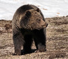 Yellowstone Grizzy (Judy Baum) Tags: bear young yellowstone grizzly grizzlybear
