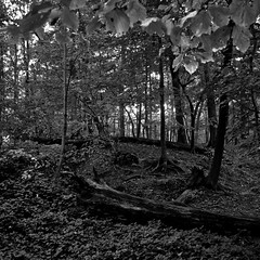 Lost In Woods 001 (noahbw) Tags: trees light shadow blackandwhite bw monochrome leaves forest square blackwhite nikon treetrunk d5000 mccormickwoodsnaturepreserve noahbw