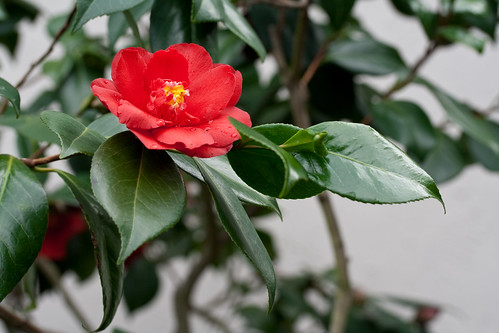 An unidentified red camellia from the garden of John Wang