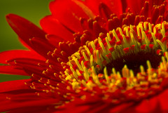 red gerbera (Carl Scott) Tags: friends red green yellow petal gerbera asteraceae gerber naturesfinest traugott mutisioideae mutisieae traugottgerber citrit theunforgettablepictures theperfectphotographer awesomeblossoms