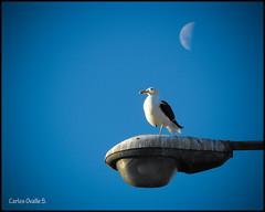 Talcahuano-Gaviota Coja (El Aprendiz.) Tags: sky moon bird standing streetlamp seagull aves luna resting gaviota oneleg farosdelacalle unpata