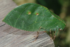Leaf mimicking phaneropterine katydid (Phaneropterine sp.) (pbertner) Tags: park rainforest basin cricket national jungle camouflage borneo grasshopper katydid orthoptera mimicry maliau