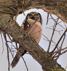 Northern Hawk Owl (Hal Trachtenberg) Tags: challengegamewinner pfogold thechallengefactory