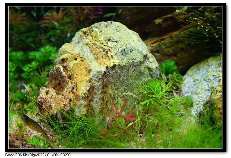石頭上的黑毛藻減少