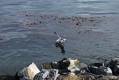 Gaviota a la pesca? (CiS2) Tags: tierradelfuego aves gaviotas