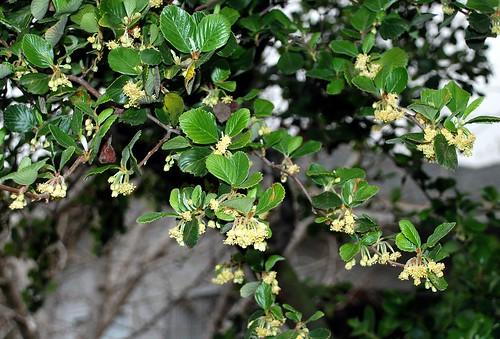Flickriver Photoset Cercocarpus Traskiae Or Betuloides Var