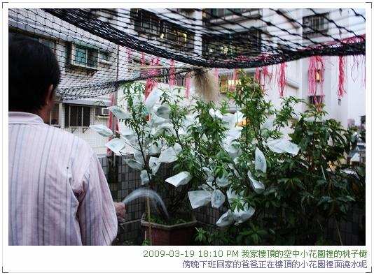 09.03.20樓頂桃子結果.套袋