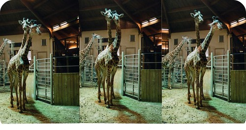 двухголовый жираф
