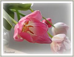 ~~ Tulips for a Happy Gorgeous Green Thursday ~~ (Brenda Boisvert) Tags: pink flower macro me fun zoom tulip naturesfinest flowerlovers bej fantasticflower abigfave citrit theperfectphotographer goldstaraward cherryontopphotography flickrsawesomeblossoms themodernimpressionists grrreatworks hggt planetearthflowers brendamb tulipsforahappygreenthursday