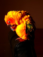 I know I shine like diamonds ! (*volar*) Tags: bird chili parrot sunny nene jol sunconure aratingasolstitialis featherfriday schapoio colorphotoaward sonnensittich