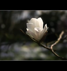(~JustJayne~) Tags: white canon eos petals soft pretty dof blossom smooth sensual single fragrant bud delicate bexhill photographyrocks 400d overtheexcellence proudshopper manorbarngardens