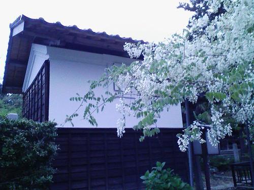 隆泉寺の白藤とツツジ