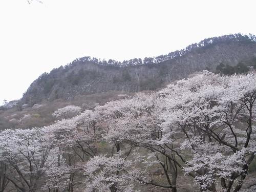 【桜】『屏風岩公苑』@曽爾村-09