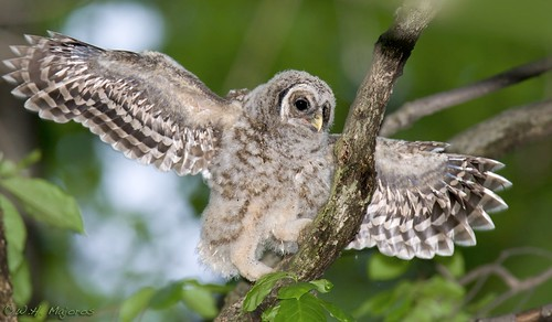 barred-owl-chick-35