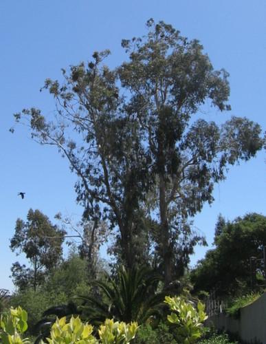 Double Crested Cormorant Nests Santa Barbara Zoo