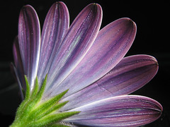Cape Daisy (mulaphoto) Tags: flower petals ps powershot murcia cannon daisy acr mula a470 cs4
