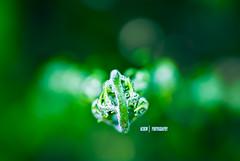 Day 110/365 : sicked T_T (achew *Bokehmon*) Tags: flower macro green bokeh sony alpha sick tamron a300 sp90