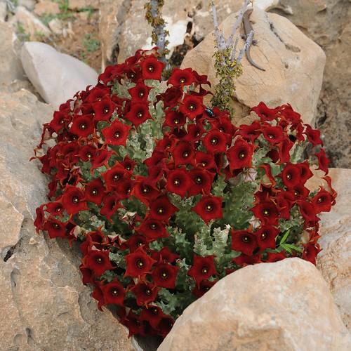 Socotran Caralluma