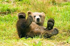 [フリー画像] [動物写真] [哺乳類] [熊/クマ] [子熊]       [フリー素材]