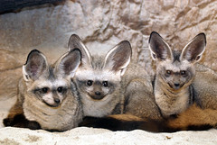Bat eared fox (floridapfe) Tags: animal zoo nikon korea fox everland  batearedfox d80 vosplusbellesphotos