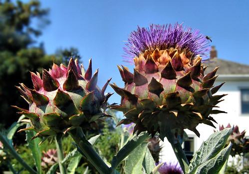 Artichoke Thistle Flowers plant